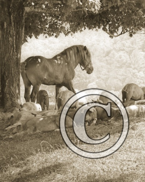 Draft Horse and Friends